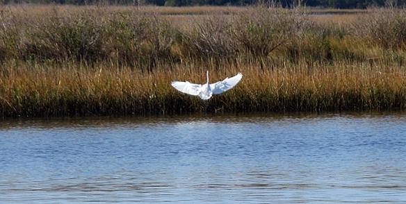 12-3 6 Snowy Egret